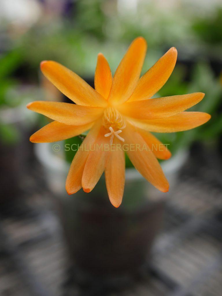 Rhipsalidopsis 'Columba'