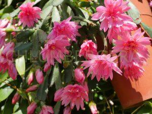 Rhipsalidopsis 'Flore Pleno'