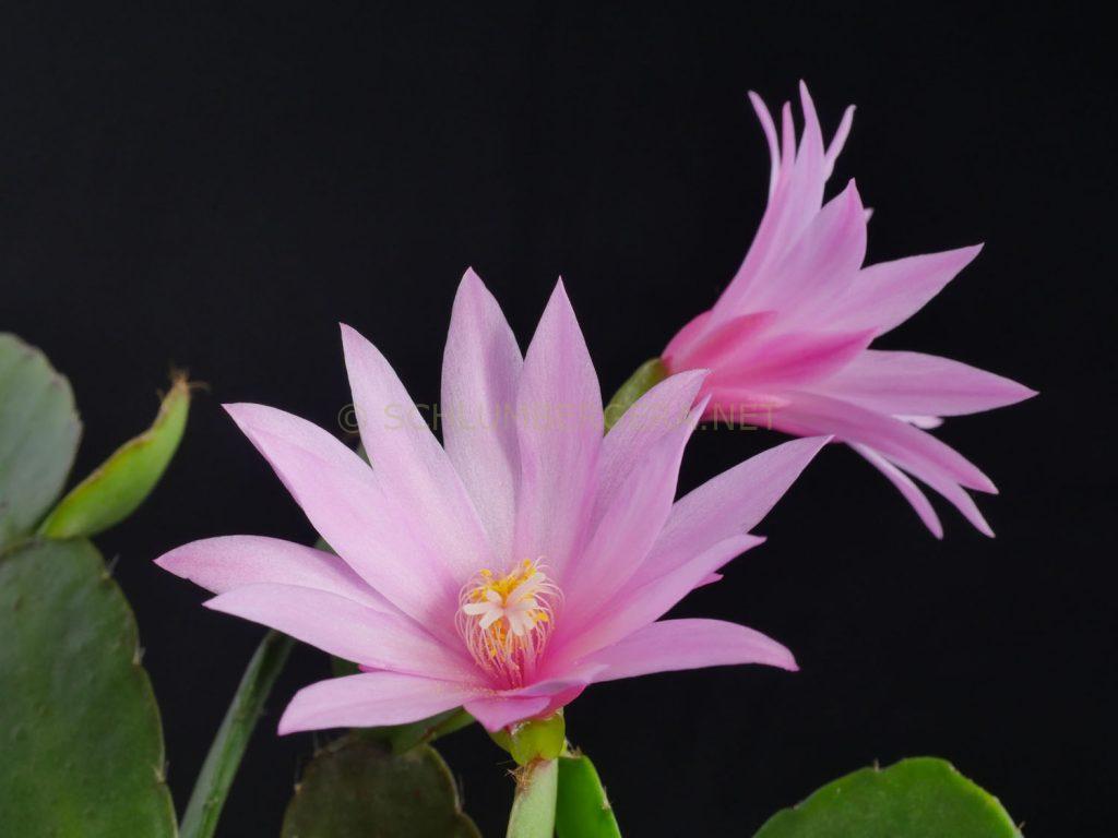 Rhipsalidopsis 'Gemini'
