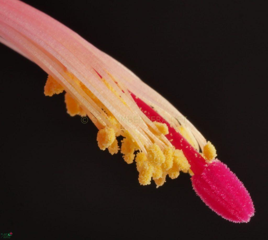 Schlumbergera 'Paprika'