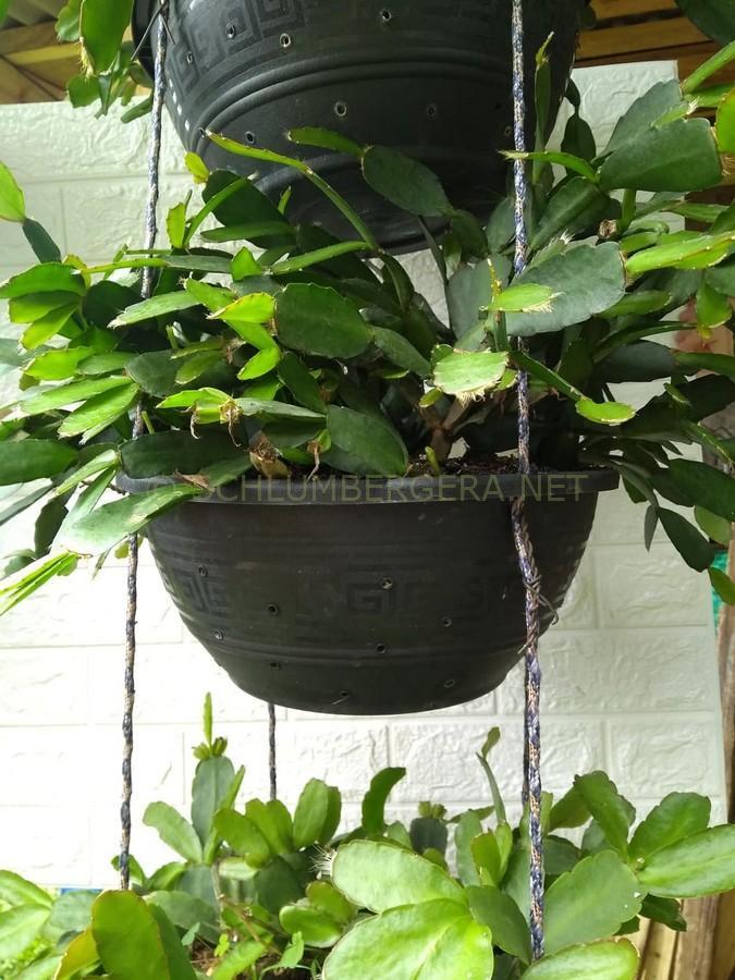 Rhipsalidopsis 'Brasil Escarlate'