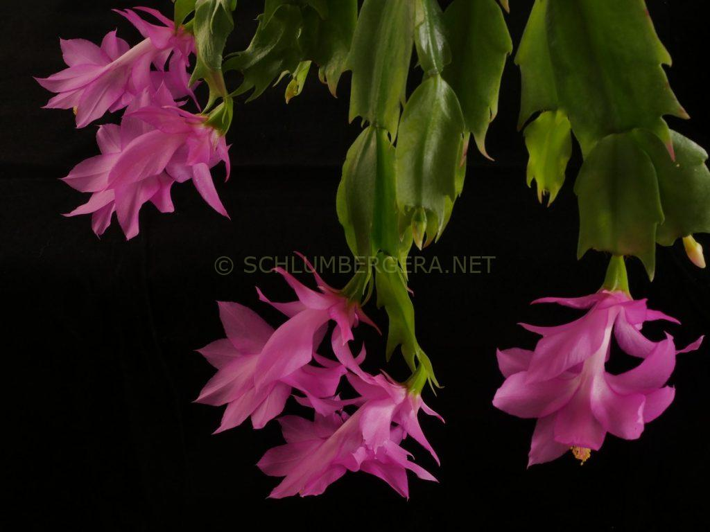 Schlumbergera 'Beheim Pink'