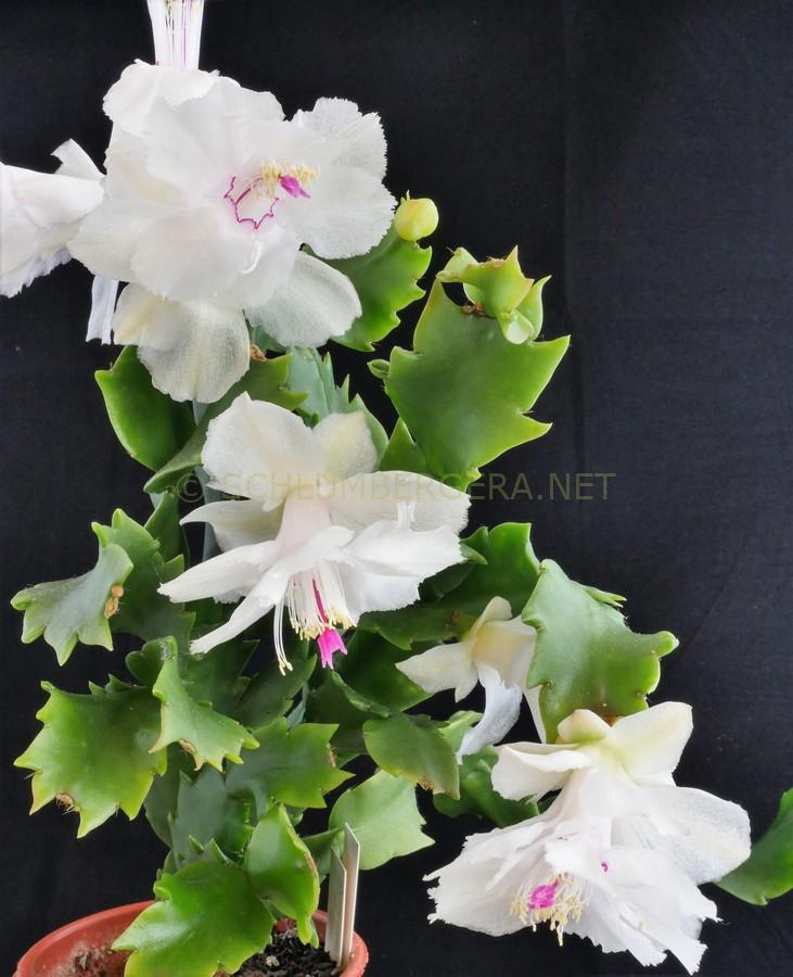 Schlumbergera 'Bridgeport'