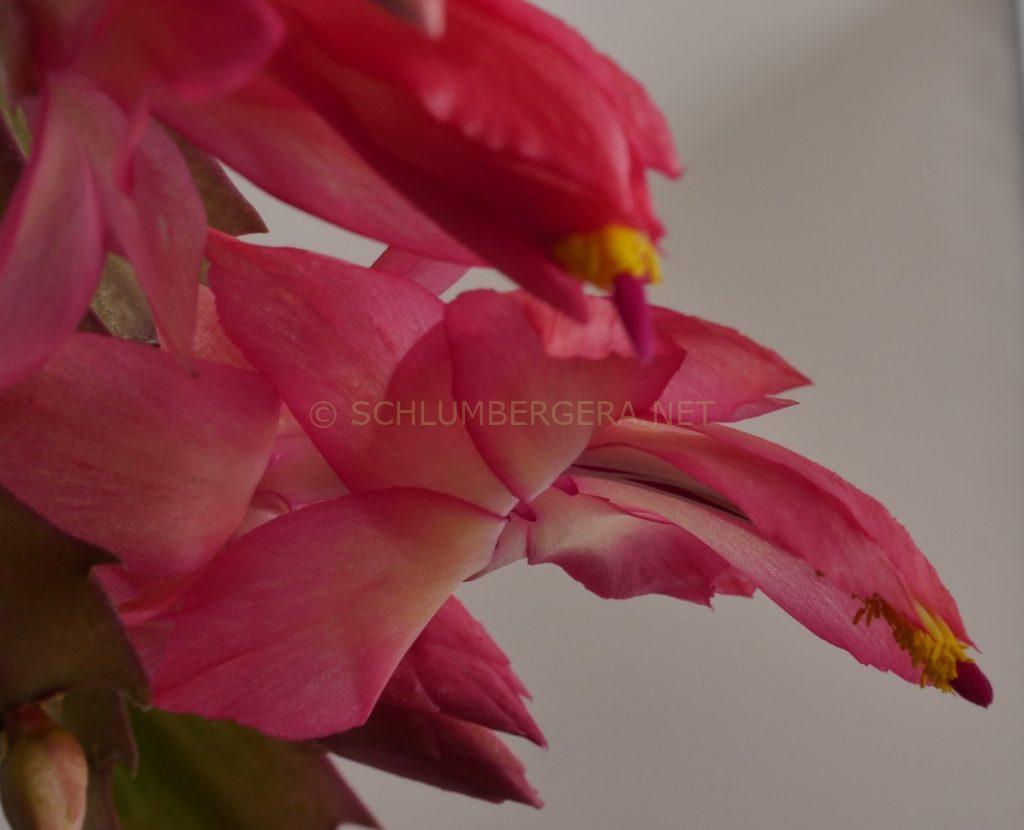 Schlumbergera 'Bumpy Pink'