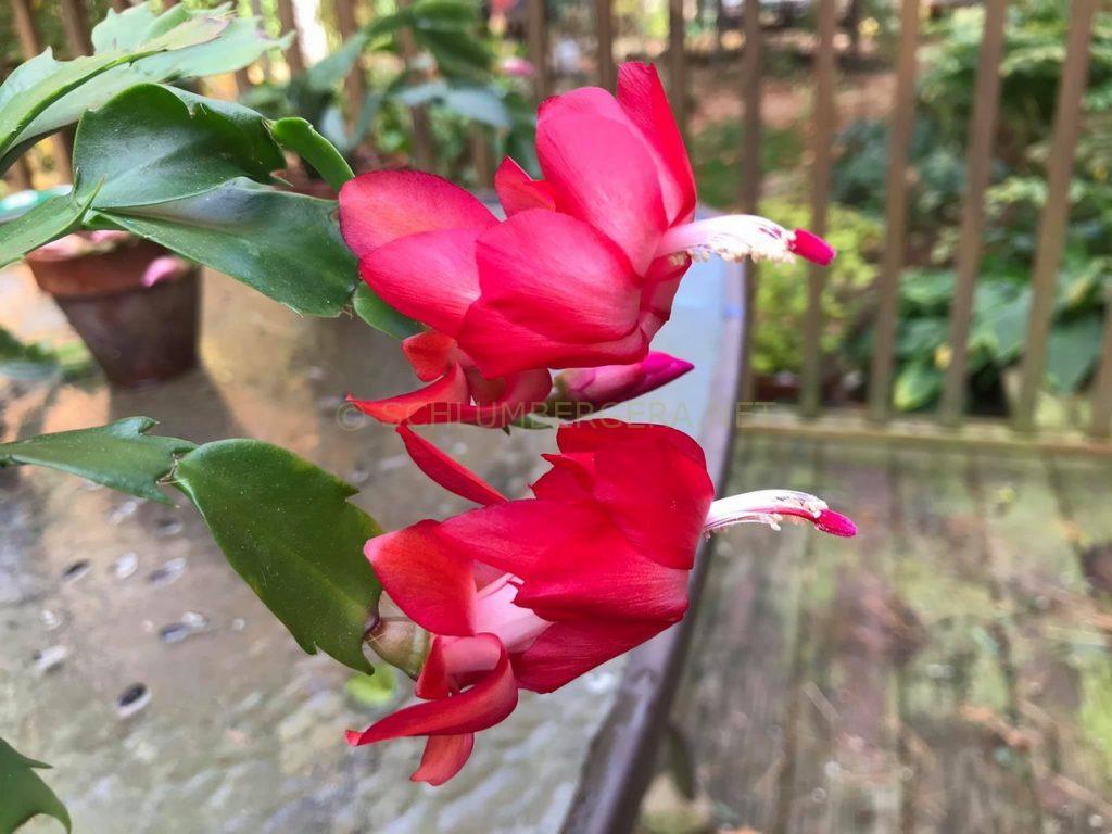 Schlumbergera 'Coral Red'