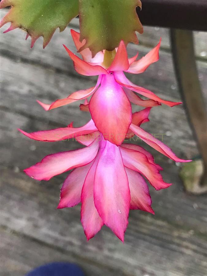Schlumbergera 'Ice Dancer'