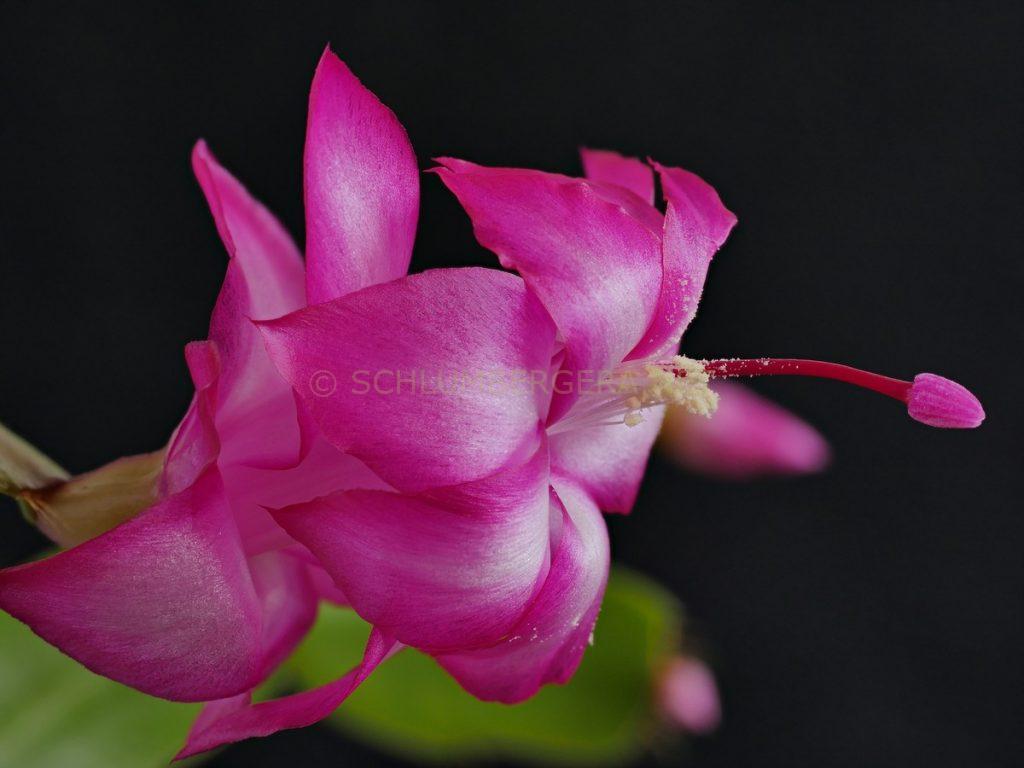 Schlumbergera 'Kolibri'