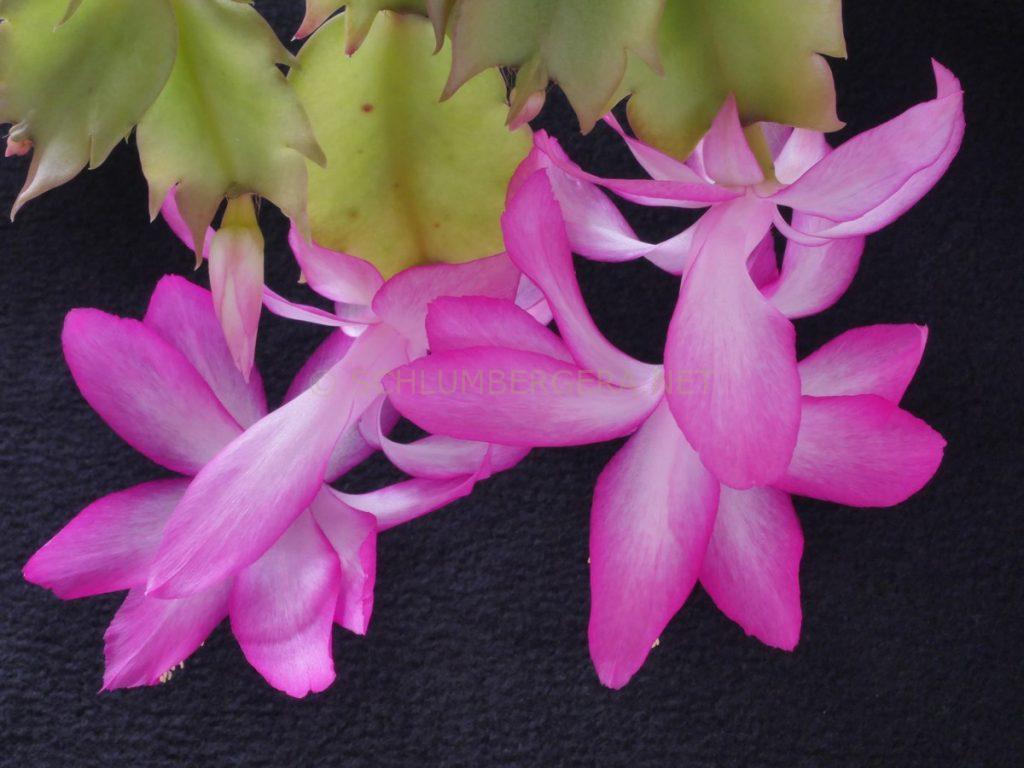 Schlumbergera 'Pink Regent'