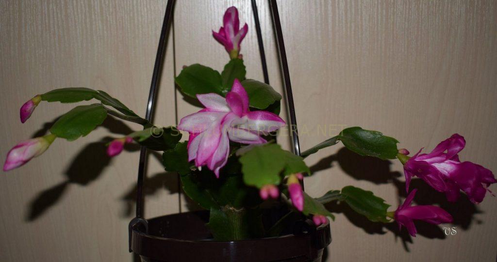 Schlumbergera 'Purple Janus'