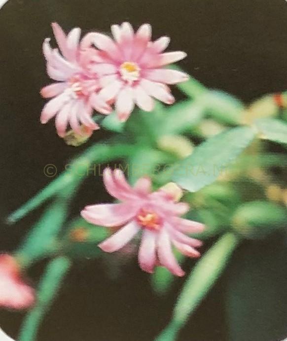 Rhipsalidopsis 'Monarch'