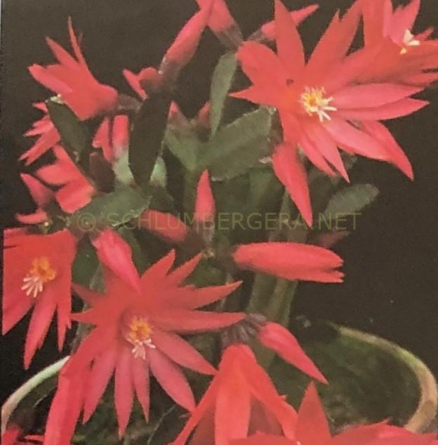 Rhipsalidopsis 'Flame'