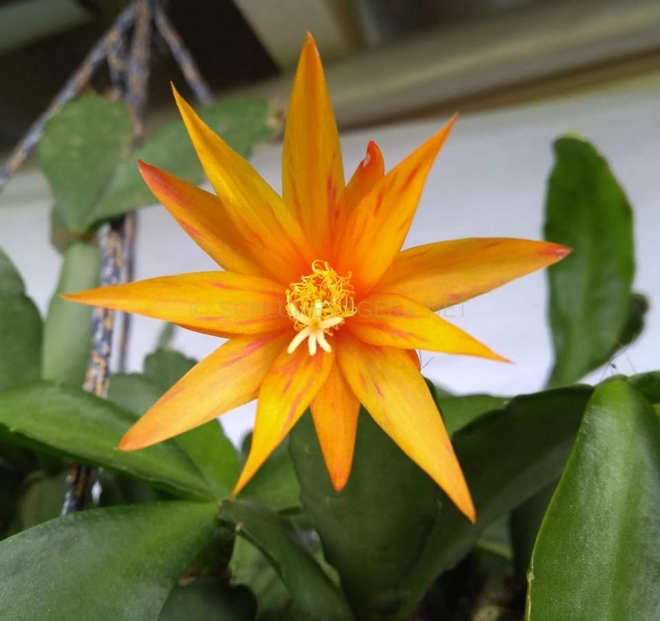 Rhipsalidopsis 'Estrela d'Alva'
