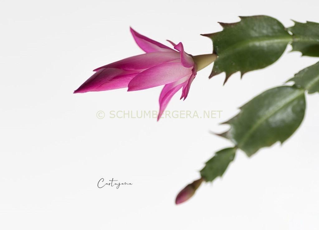 Schlumbergera 'Cartujana'