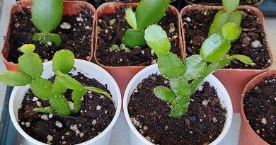Schlumbergera cross seedlings